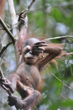 Tired little Orangutan. Aww... Beautiful.