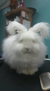 English Angora White fluffy wally bunny in El Paso