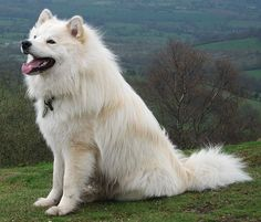 The Finnish Lapphund combines the physical characteristics of a typical Northern dog with the temperament and personality of a herder.