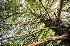 árbol, ramas, pino, tronco, conífera, 1704262128