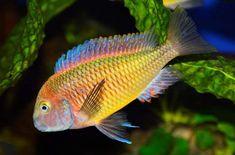 Lac Tanganyika, Tropical Aquarium, Cichlids, Pets, Animals, Animales, Animaux, Animal, Animais