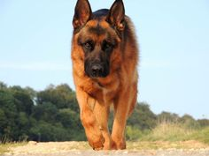Image issue du site Web http://www.bodydog.fr/img/cms/faire-grossir-berger-allemand.jpg