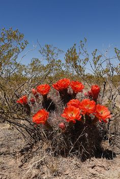 transpecosensis, USA, Texas, Hudspeth Co. Desert Flowers, Desert Cactus, Desert Plants, Cactus Flower, Flower Art, Desert Pictures, Cacti And Succulents, Native Plants, Botany