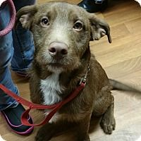 German Wirehaired Pointer/Labrador Retriever Mix Dog for adoption in Lisbon, Ohio - Hermie