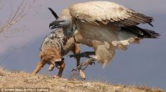 Thaipanda+: Day of the jackal attack: Brave scavenger steals bone from vulture during vicious struggle