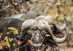 Buffel bulle