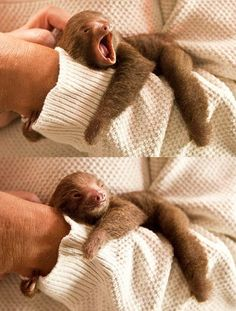 Want to see more adorable sleepy sloths like this little guy? Check out our blog: http://all-things-sloth.com/sloth-blog/
