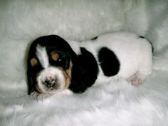 Baby basset hound! Looks like millers brother Willie Nelson :)