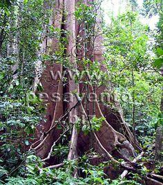 Rainforest Butresses