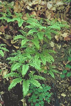 Maidenhair Fern (Adiantum pedatum) | Michigan native grows in USDA zones 2 through 8. This fern grows 12 to 28 inches tall and has thin, dark-colored stems and bright green fronds. It prefers partial or full shade. Thrives in moist soil, but will survive limited drought conditions.