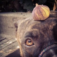 Fig Found Fig  #fruit #find #hot #figonfig #action #walking #figtree #droppings #nodesertbeforebreakfast #locovore #freegan #cannibal #dog #cute #rescue #brindle #pitbull #boxer #mix #leaveit #gooddog #myinstapit #ourpitpage #pitbulladvocate #dogsofficialdog