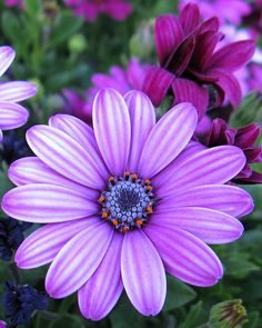 African daisies (Osteospermum)- one of my favorites. Would love to grow some more of these this year!
