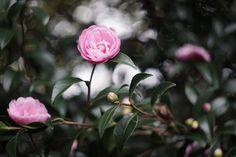 2016~2017_the Tsubaki_6(Camellia japonica,乙女)
