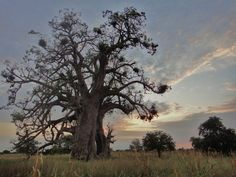 Baobob tree, Niger, Africa. Taken by a friend in the Peace Corps.