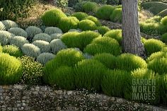 ISA1211- SANTOLINA ROSMARINIFOLIA 'PRIMROSE GEM', SA : Asset Details -Garden World Images