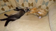 ChapaweeDreams Pixie Bobs. Essex based hobby breeder of these large rare, dog like, loyal & friendly cats.