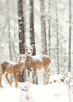 Awww....Mr. & Mrs. Winter Deer