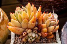 Echeveria agavoides Gold Wax Very Rare      Succulent plant ariocarpus haworthia
