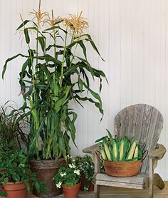 How cool is this?  It's the first-ever #corn to grow in a #container!