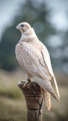 golden saker falcon - Google Search