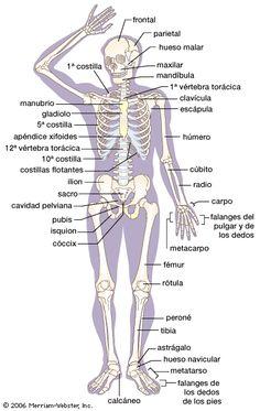 Corpo Humano - Tudo Sobre o Corpo Humano - Ciência do Corpo Humano - Fisiologia…