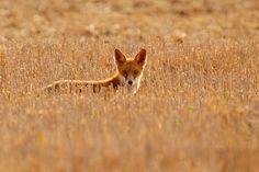 Red Fox, Animals, Animales, Animaux, Animal, Animais, Fox