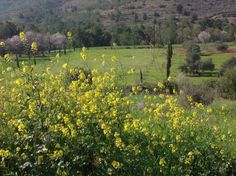 Yellow rapeseed flowers and pink almond blossoms in Klirou, Cyprus. Κλήρου, Κύπρος
