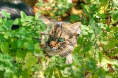 HOW TO GROW AND DRY CATNIP FOR YOUR CAT