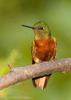 Chestnet-breasted Coronet - Ecuador Hummingbirds - Ralph Paonessa Photography Workshops