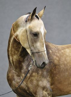 Akhal-Teke. The Akhal-Teke is a horse breed from Turkmenistan. Only about 3,500 are left worldwide. Known for their speed and famous for the natural metallic shimmer of their coats.