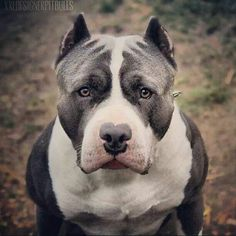 The #American #Staffordshire #Terrier. This breed, England's Staffordshire Bull Terrier, & the Am. Pit Bull Terrier are commonly confused with eachother due to their CLOSE similarities. #pitbull