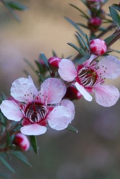 *AUSTRALIA ~ Pink Tea Tree (Leptospermumm scoparium) Native to New Zealand and southeast Australia. A usually compact shrub to high (often less) to wide. Australian Native Garden, Australian Native Flowers, Australian Plants, Australian Garden Design, Unusual Flowers, Amazing Flowers, Pink Flowers, Beautiful Flowers, Pink Peonies