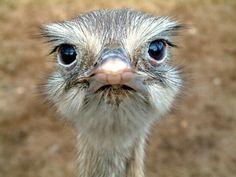 Ostrich ....