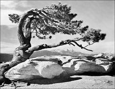 Jeffrey Pine – Sentinel Dome, by Ansel Adams. #photography, #landscape