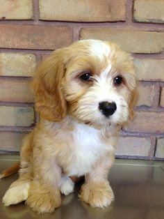Meet Dexter! Cavapoo, puppy