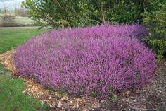 """ERICA bruyère Persistant, mi-ombre, sol acide et drainé Floraison au printemps ou en automne selon variétés, croissance rapide, taille de moitié après floraison, 0.25*0.25. Peut être rasée en cépée si dégarnie, avec quelques """"tire-sèves"""" puis recouvert de terre de bruyère."""