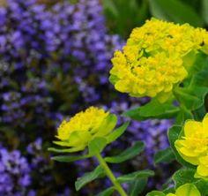 With euphorbia chocolate chip Spring Green, Master Bath, Tulips, Chocolate, Garden, Plants, Color, Master Bathroom, Garten