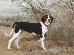 Treeing Walker Coonhound. Looks almost like my new dog :)