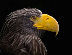 Riesenseeadler by Urs Schmidli on 500px