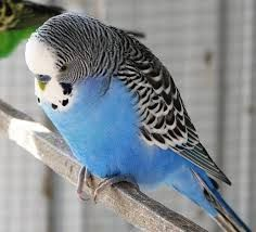I had a blue budgie like this