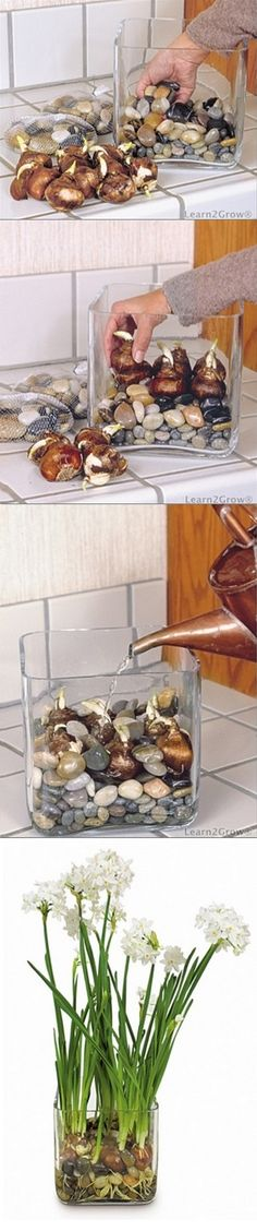 In a glass container, make a bed of polished stones or glass beads. Orient each bulb with its flat side down and position it atop the stone bed. After each bulb has been seated, fill the spaces between the bulbs with more stones. Fill the container with water to slightly below the base of the bulbs. and Enjoy.