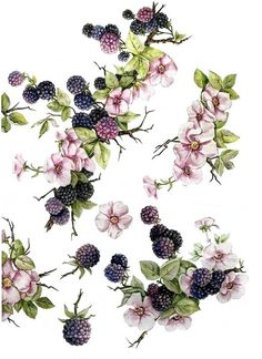 Botanical Drawings, Botanical Prints, Vintage Diy, Blackberry Tattoo, Tigh Tattoo, Geniale Tattoos, Decoupage Paper, China Painting, Vintage Flowers