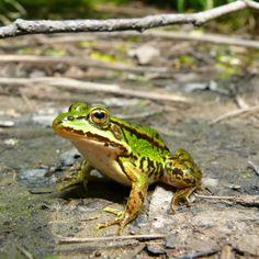 Frosch am Waldteich