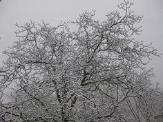 Walnut Tree in Snow.