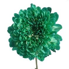 Green Cremon Bulk Flowers feature a single bloom of long, lush and soft petals. The Cremon has a full, lush look, that would add color and texture to any weddin Diy Wedding Flowers, Wedding Bouquets, Wedding Ideas, Wholesale Flowers Online, Bulk Roses, Fall Mums, Fresh Flower Delivery, Floral Supplies, Calla Lily