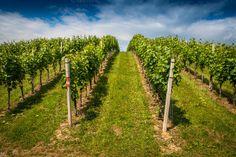 Endless hill / grapes Photos Austria / Styria / Gamlitz by ChristianTh¨¹r Photography Endless, Nature Photos, Austria, Creative, Vineyard, Branding Design, Country Roads, Christian, Wine