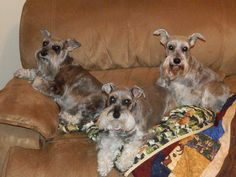 This is Moxie, Dixie and Princess. I love my silly Schnauzers!