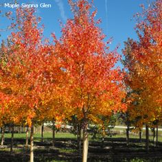 MAPLE - SIENNA GLEN  Height 60' Spread 40' Zone 3 Fall Color Burgundy red Fast growing with pyramidal form. Tolerant of alkaline, acidic, or wet soil conditions. Superior to Autumn Blaze in withstanding strong winds and a good substitute for Ash varieties. Shows a high resistance to frost and sunscald.