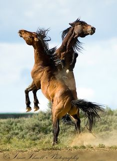Wild Horses from The Great Divide Basin in Wyoming, battle for dominance. The strong conversation lasted just 15 seconds and was followed by total calm.   Tina Thuell