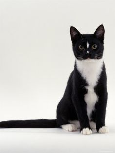 Domestic Cat, Black-And-White Smooth-Coated Póster por Jane Burton en AllPosters.es